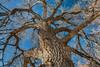 Giant cottonwood tree in winter
