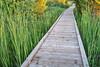wooden boardwalk  across swamp