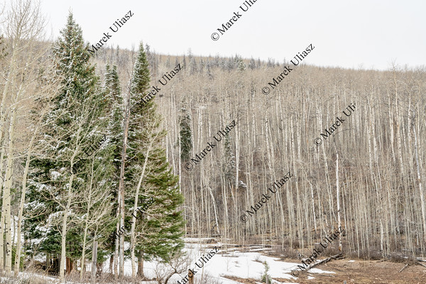 aspen grove iand spruce n winter