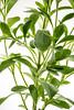 Stevia rebaudiana plant
