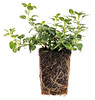 new oregano plant with roots