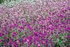 gomphrena flowers background