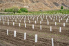 peach orchards in Palisade
