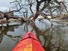 kayak and fallen cottonwood tree