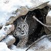 Bobcat under shelter