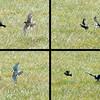 American Kestrel chasing a starling