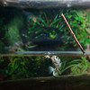 Archer fish known for their habit of preying on land-based insects and other small animals by shooting them down with water droplets from their specialized mouths