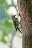 Northern Flicker at her nest site