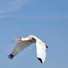 Wood storks breed in the southeastern United States and are the only stork to breed in the U.S.