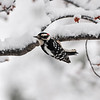 Downy Woodpecker hanging on tree
