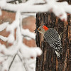 Red bellied Woodpecker in snow
