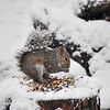 Grey squirrel feeding on stump