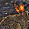 Rabbit with the golden ears