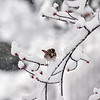 English sparrow in snow on tree