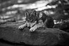 Young wolf ready to react  BW