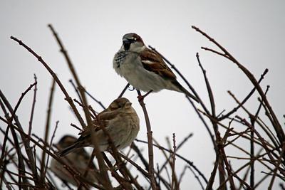 House Sparrows Niagara Falls