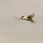 Arctic tern with fish, Iceland