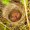 Meadow pipit nest, Islay