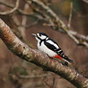 Great Spotted Woodpecker, Islay