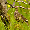 Ptarmigan in birch forest, Iceland