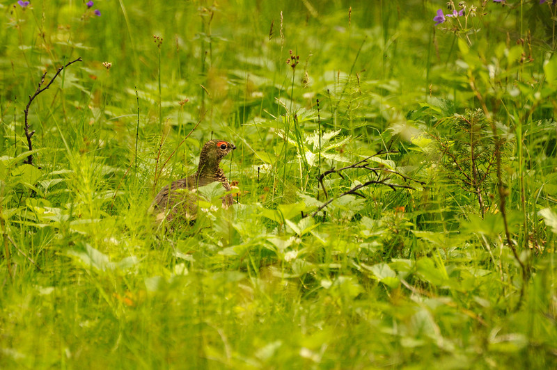 Ptarmigan in undergrowth, Iceland