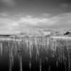 Reeds in loch, Islay