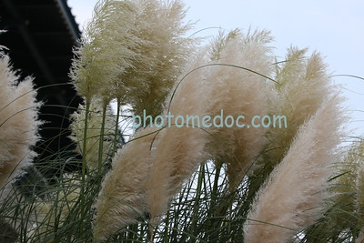 Giant Cat-Tails