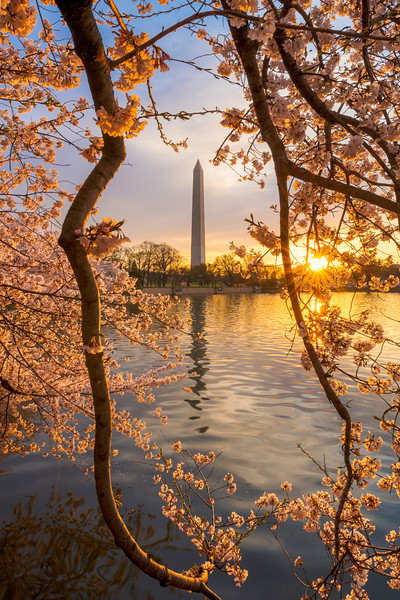 """""""A Flare for Blossoms"""" - Washington Monument, Washington, D.C.   Recommended Print sizes*:  4x6      8x12     12x18     16x24     20x30     24x36 *When ordering other sizes make sure to adjust the cropping at checkout*  © JP Diroll 2014"""