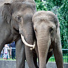 Couple of Asian elephants, Berlin zoo, Germany