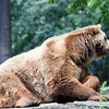 Brown bear, Berlin zoo, Germany