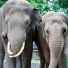 Couple of Asian elephants, Berlin zoo, Germany
