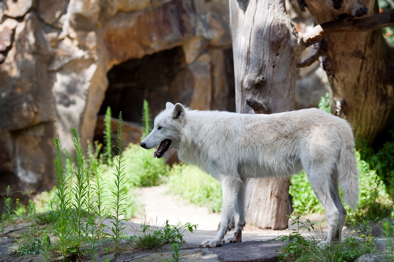 Arctic wolf (Canis lupus arctos), Berlin zoo, Germany