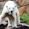 Polar bear, Berlin zoo, Germany