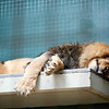 Sleeping lion, Berlin zoo, Germany