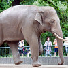 Asian elephant, Berlin zoo, Germany