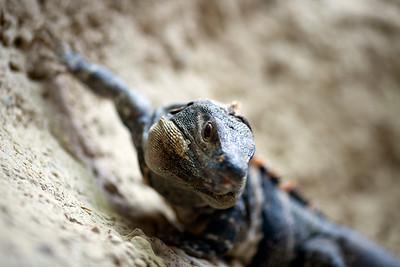 Black Spiny-tailed Iguana (Ctenosaura similis), Berlin zoo, Germany