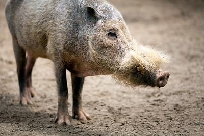 Bearded pig (Sus barbatus), Berlin zoo, Germany