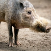 Bearded pig (Sus barbatus), Berlin zoo, Germany