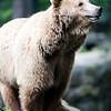 Brown bear, Berlin zoo, Germany