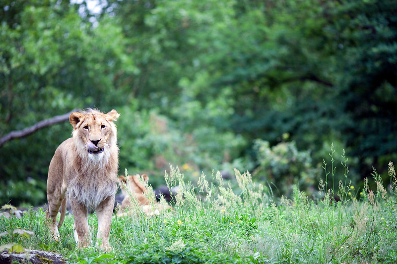 Young lion, Berlin zoo, Germany