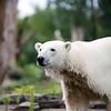 Polar bear, Berlin zoo, Germany