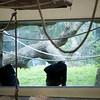 Couple of chimpanzees, Berlin zoo, Germany