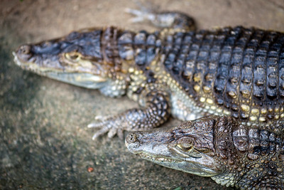 Couple of Spectacled Caimans (Caiman crocodilus), Berlin zoo, Germany