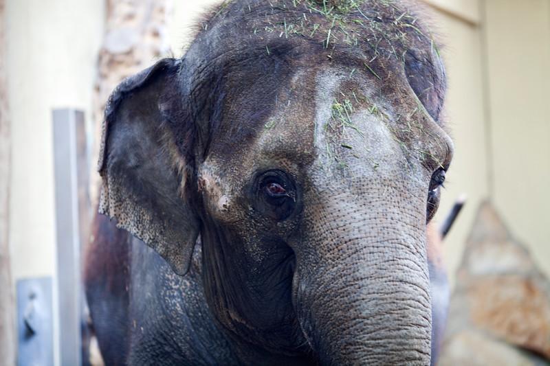 Head of an Asian elephant, Berlin zoo, Germany