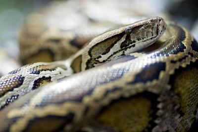 Burmese Python (Python molurus bivittatus), Berlin zoo, Germany