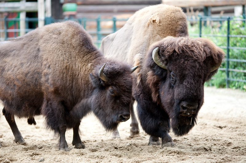 Couple of bisons, Berlin zoo, Germany