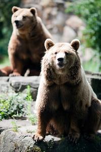 Couple of brown bears, Berlin zoo, Germany