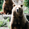 Couple of brown bears, Berlin zoo, Germany