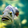 Peacok bass fish, Berlin zoo, Germany
