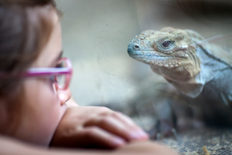 Litlle girl looking at a rhinoceros iguana (Cyclura cornuta), Berlin zoo, Germany